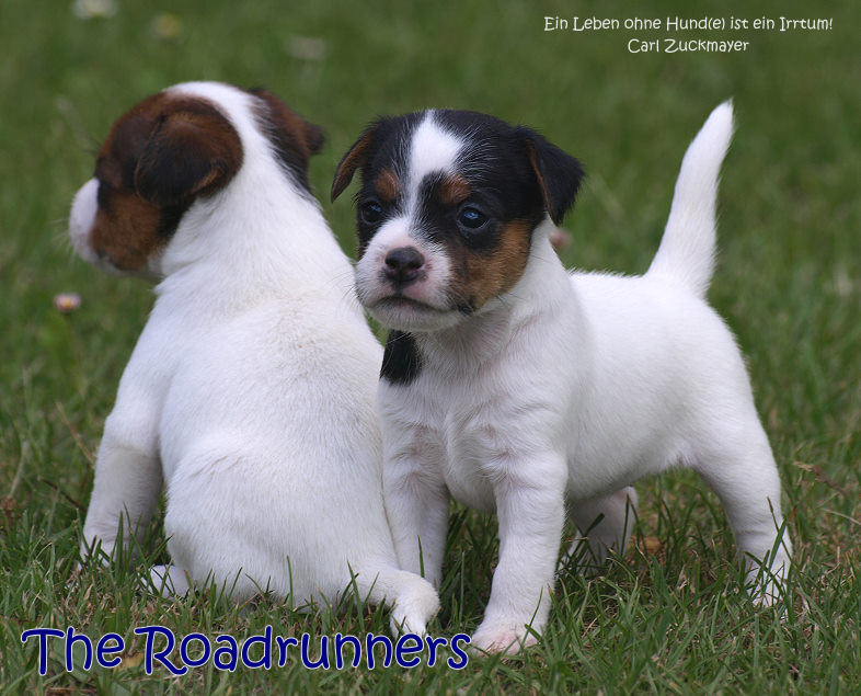 The Roadrunners Parson Jack Russell Terrier