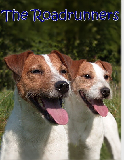 Parson Jack Russell Terrier The Roadrunners